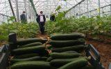 آغاز برداشت خیار گلخانه ای در شهرستان جوین