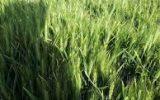 آغاز برداشت جو از سطح مزارع غلات شهرستان سربیشه