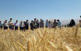 علاقه مندان کشت گندم استان در روزمزرعه غلات نیشابور
