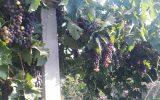 برداشت اولین محصول انگور رقم ترکمن ۴ در شهرستان خوشاب