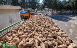 کشت چغندرقند در ۴۵ هکتار از اراضی موقوفات ملک برای کمک به زنجیزه تولید شکر
