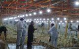 """جوجه ریزی ۱۰۴۵۰۰ قطعه جوجه مرغ گوشتی """"آرین"""" برای اولین بار در خلیل آباد"""