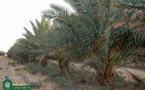 برداشت بیش از ۲۰ تن خرما از اراضی موقوفه آستان حضرت حسین بن موسی الکاظم(ع)