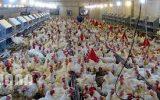 تولید مرغ در جوین بیش از ۲ برابر شد