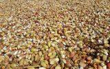 برداشت ۶۷۴۰ تن پسته ازباغات شهرستان نیشابور
