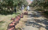 پایان برداشت سیب در شهرستان درگز
