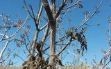 کاهش ۸۵ درصدی تولید محصولات باغی شهرستان کوهسرخ
