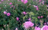 آغاز برداشت گل محمدی در شهرستان جوین