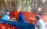 برداشت شش هزار تن گوجهفرنگی از مزارع ایرانشهر